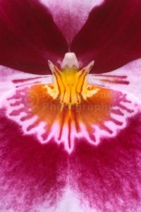 AB-0214 Pansy orchid abstract