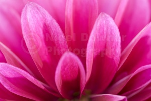 AB-0220 Pink dahlia abstract