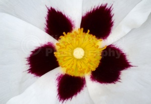 AB-0221 Cistus flower abstract