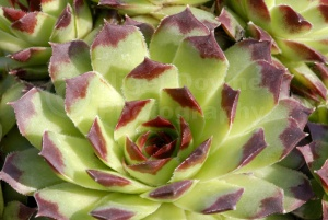 AB-0223 Succulent plant abstract