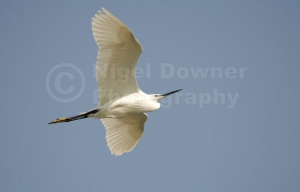 BI-0046 Little egret