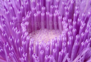 AB-0231Musk thistle