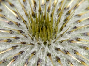 AB-0232 Musk thistle abstract