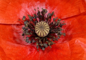 AB-0233 Field poppy abstract