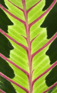 AB-0247 Prayer plant leaf abstract