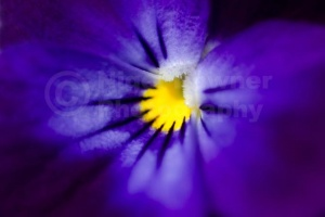 AB-0248 Blue pansy abstract