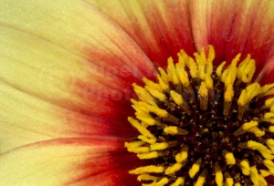 AB-0252 Dahlia flower' Sunshine' centre abstract