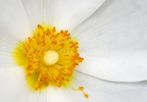 AB-0254 White anemone flower abstract