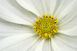 AB-0255 White cosmos flower abstract