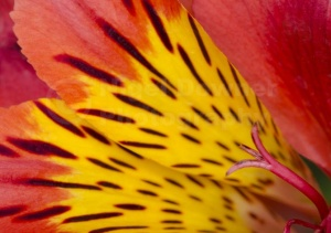 AB-0256 Peruvian lily abstract
