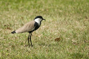 BI-0050 Spur-winged plover