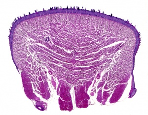 AN-0006 Mammal skeletal muscle section