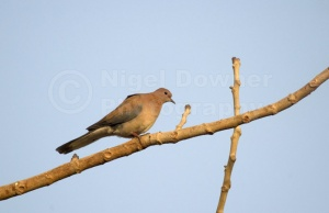 BI-0052 Laughing dove