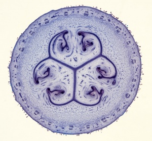 BT-0004 Cucumis sativus young fruit cross section