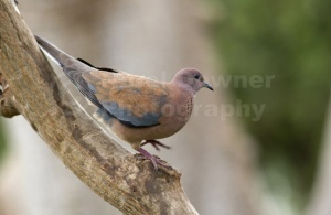 BI-0053 Laughing dove