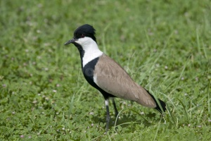 BI-0055 Spur-winged plover