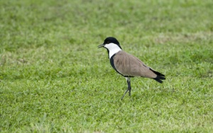 BI-0056 Spur-winged plover