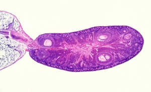 AN-0009 Rat ovary showing follicles