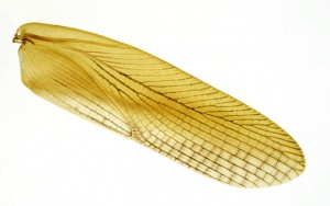 IV-0010 Cockroach wing