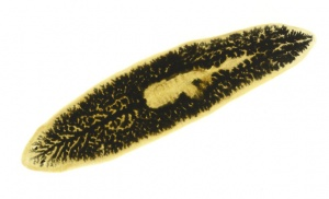 IV-0016 Planarian flatworm showing digestive tract