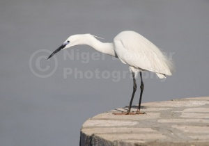 BI-0001 Little egret