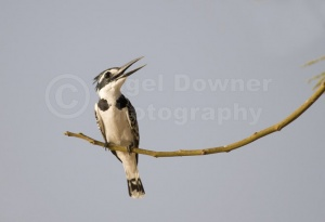 BI-0002 Pied kingfisher