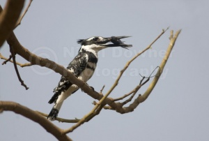 BI-0004 Pied kingfisher
