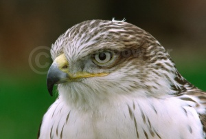 BI-0020 Ferruginous hawk