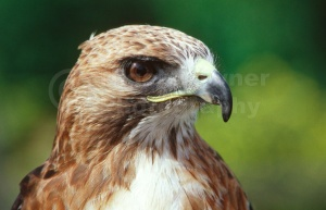 BI-0021 American red-tailed hawk