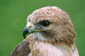 BI-0022 American red-tailed hawk