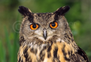 BI-0023 European eagle owl