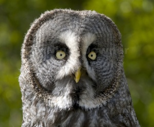 BI-0026 Great grey owl