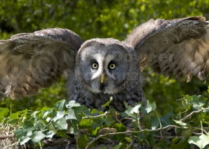 BI-0027 Great grey owl