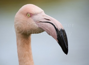 BI-0031 Greater flamingo
