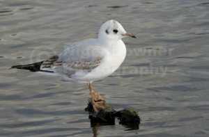 BI-0064 Black-headed gull