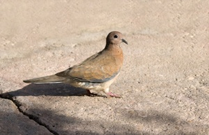 BI-0077 Laughing dove