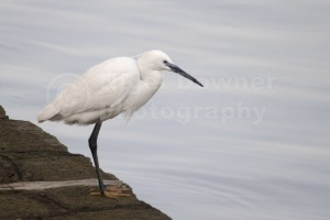 BI-0082 Little egret