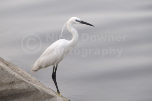 BI-0083 Little egret