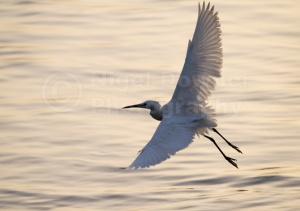 BI-0084 Little egret