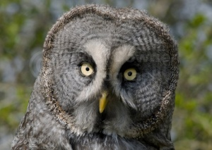 BI-0087 Great grey owl