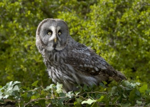 BI-0088 Great grey owl