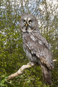 BI-0089 Great grey owl