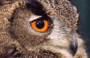 BI-0090 European eagle owl