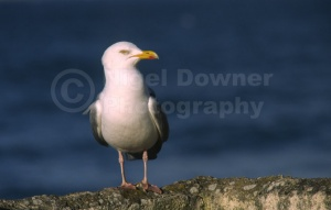 BI-0097 Herring gull