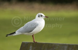 BI-0099 Black-headed gull
