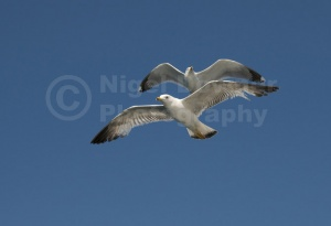 BI-0103 Herring gulls in flight