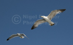 BI-0104 Herring gulls in flight
