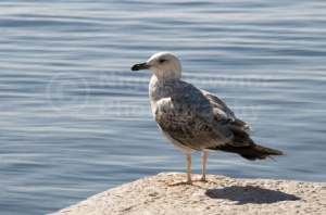 BI-0105 Herring gull immature