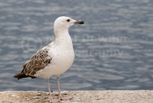 BI-0106 Herring gull immature