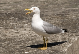 BI-0108 Herring gull giving an alarm call